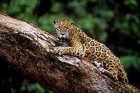É o maior felino das Américas e o único representante atual do gênero Panthera no continente. O seu corpo é robusto, musculoso e compacto, com comprimento variando entre 1,10 a 2,41 m e massa entre 35 a 130 kg, podendo chegar a 158 kg. As fêmeas são até 25% mais leves do que os machos.<br /> Uma onça-pintada pode ocupar, durante sua vida, uma área que pode variar de 33,4 km² até 142,1 km².<br /> A coloração padrão varia do amarelo-claro ao castanho-ocreáceo, sendo coberta por manchas negras, formando rosetas de tamanhos distintos, com pintas em seu interior.<br /> A espécie possui um padrão de atividade crepuscular-noturno e mais de 85 espécies-presa já foram relatadas em sua dieta. Suas principais presas são a queixada (Tayassu pecari) e a capivara (Hydrochaeris hydrochaeris).<br /> As onças-pintadas são encontradas em altitudes entre o nível do mar e 3.800 m, e são solitários. A interação entre machos e fêmeas ocorre apenas durante o período de acasalamento.<br /> A gestação varia de 90 a 111 dias, podendo nascer de um a quatro filhotes, sendo a média de dois filhotes por gestação (SILVEIRA, L.; CRAWSHAW JR., P., 2008).<br /> <br /> Carajás, Pará. Brasil <br /> ©Foto: Paulo Santos/