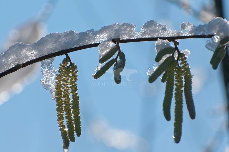 Hazelaar (Corylus avellana), bloeiend in de sneeuw