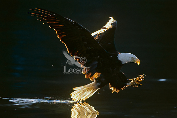 Bald Eagle trying to catch fish.  Pacific Northwest.  Summer.