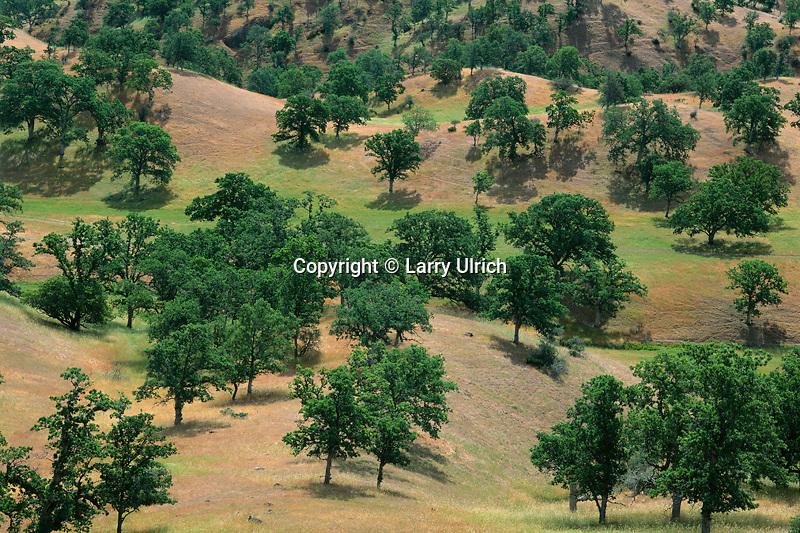 Blue oaks<br /> Sacramento Valley<br /> Tehama County<br /> California