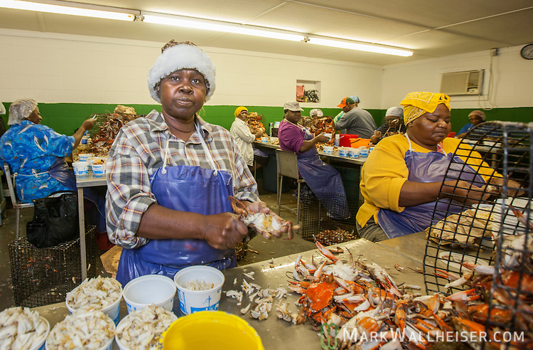 Gloria Rosier pics blue crabs at the Sanders and Sons, Inc  facilities in Sopchoppy, Florida south of Tallahassee.