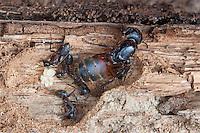 Ferruginous Carpenter Ant; Camponotus chromaiodes, female reproductive; PA, Philadelphia, Wissahickon Park