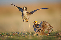 Adult male Lesser Prairie-chickens (Tympanachus pallidicinctus) fighting on a lek. Cimarron National Grassland, Kansas. April.