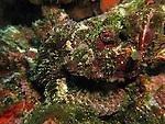Chai Kou, Green Island - Devil Scorpionfish, Scorpaenopsis diabolus.