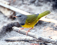 Male mourning warbler in fall migration
