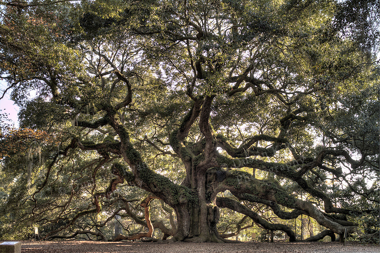 The Angel Oak is thought to be one of the oldest living things east of the Mississippi River. Acorns from the Angel Oak have grown to produce authentic direct-offspring trees.. Live oaks generally grow out and not up, but the Angel Oak has had plenty of time to do both, standing 65 ft high and with a canopy providing 17,000 square feet of shade. Its limbs, the size of tree trunks themselves, are so large and heavy that some of them rest on the ground (some even drop underground for a few feet and then come back up), a feature common to only the very oldest live oaks. It has survived countless hurricanes, floods, earthquakes, and human interference, so there's a good chance it will still be there waiting for you.