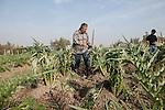 Venezia - Torcello: il lavoro invernale nelle carciofere di Torcello<br /> Venice - Torcello. Farmers at work during the winter.