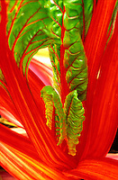 Vegetable - Red rainbow chard 'Bright Lights'