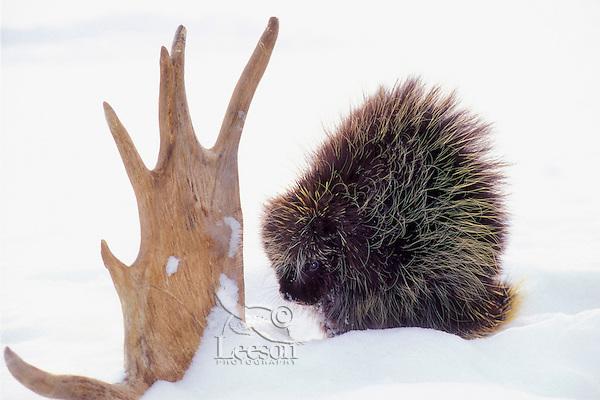 PORCUPINE with moose antler - a winter food source..Winter. Minnesota..(Erethizon dorsatum).