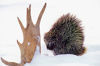PORCUPINE with moose antler - a winter food source..Winter. Minnesota..(Erethizon dorsatum).
