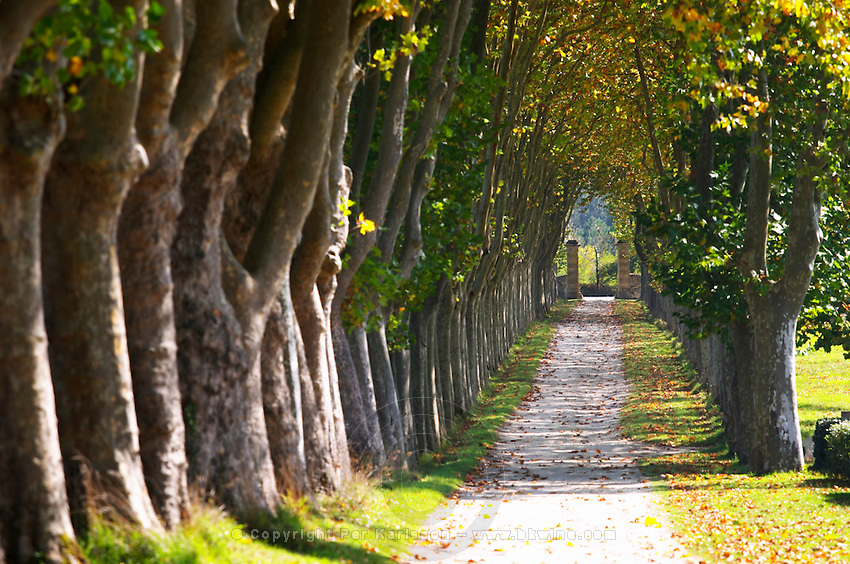tree lined dirt drive way chateau guiraud sauternes bordeaux france