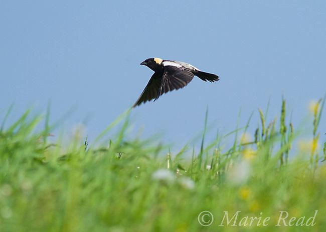 Bobolink (Dolichonyx oryzivorus ) male in flight over its meadow territory, New York, USA