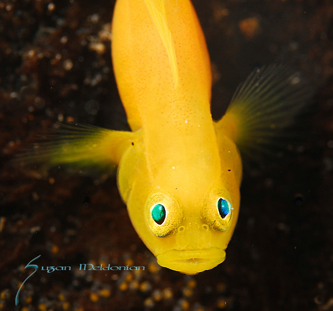 Golden Gobies with Eggs, Lubicogobius ornatus, Lembeh Straits; Sulawesi Sea; Indonesia; Amazing Underwater Photography