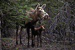 Portrait of a Moose and her calf in Denali National Park, Alaska.
