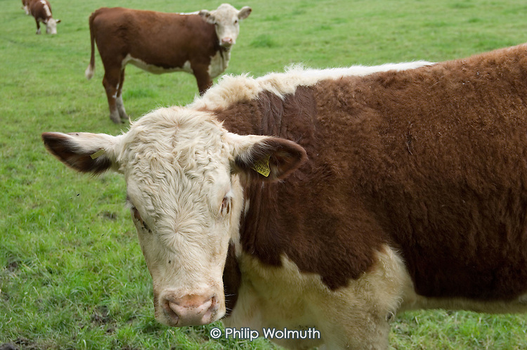 Cows in a field in Hampshire