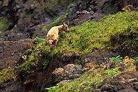 Feral Goat on rim of Waimea Canyon, in Waimea Canyon State Park, Kauai.