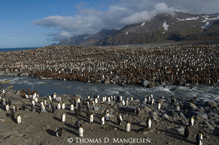 King Penguin colony at St. Andrews Bay on South Georgia.