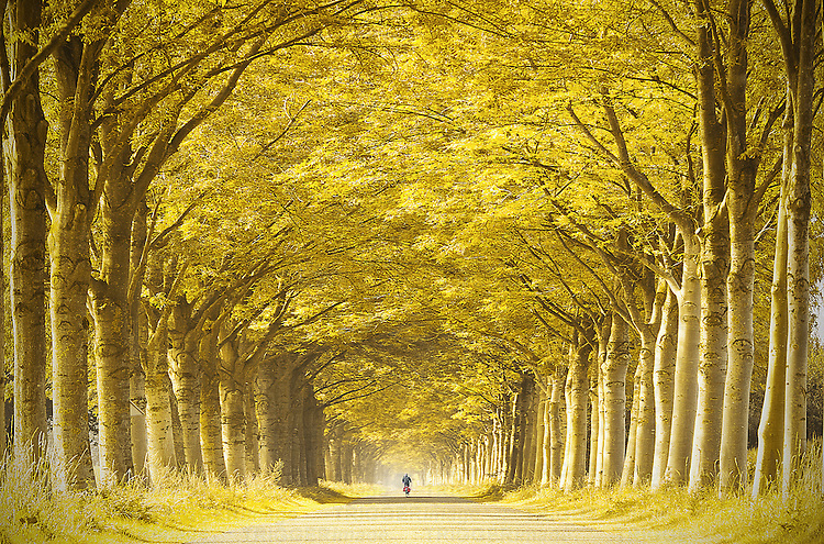 Unrecognizable person cycling alone down a long straight golden tree lined lane in summer under yellow leaves