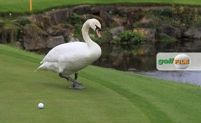 A swan on the 12th green during Tuesday's Practice round of the Dubai Duty Free Irish Open Trophy at The K Club, Straffan, Co. Kildare<br /> Picture: Golffile | Thos Caffrey<br /> <br /> All photo usage must carry mandatory copyright credit <br /> (&copy; Golffile | Thos Caffrey)