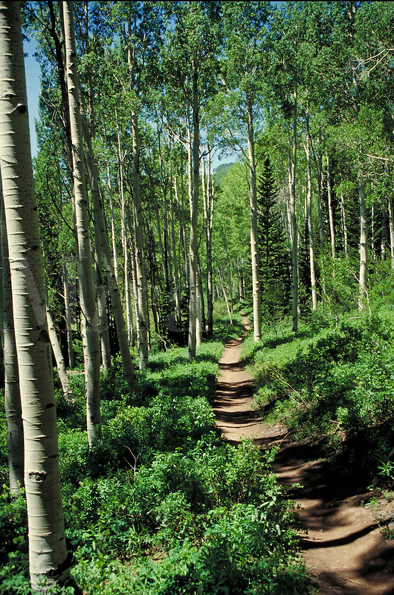 A path along the Butler Fork trail among white trunked aspen trees. . Utah, Big Cottonwood Canyo