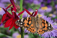 American Painted Lady Butterfly (Cynthia virginiensis) on Cardinal Flower (Lobelia cardinalis) in backyard garden.  Summer. Nova Scotia, Canada.
