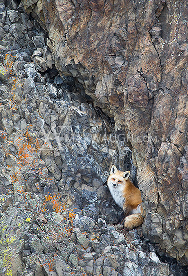 This fox would occasionally roost in a rock wall near Roosevelt.  It was seen in this spot off and on over several weeks.