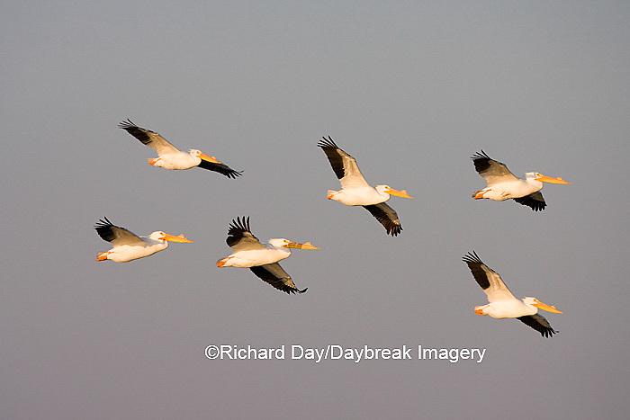 00671-01003 American White Pelicans (Pelecanus erythrorhynchos) in flight  Riverlands Environmental Demonstration Area,  MO