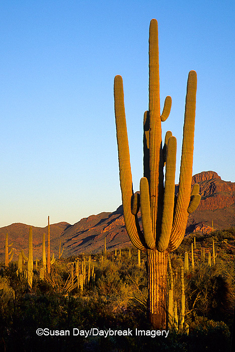 62745-00419 Saguaro (Carnegiea gigantea) cactus in evening Ajo Mountain Dr.  Organ Pipe National Monument   AZ