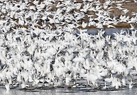 I typically haven't had many opportunities to photograph large flocks of Snow Geese at close range. It was nice to get a couple of closer photo opportunities.