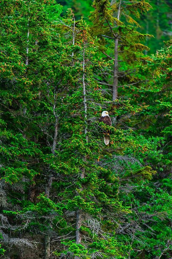 Bald eagle in tree, Lynn Canal, Southeast Alaska USA.