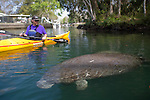 Weeki Wachee River, manatees, Florida, Gulf Coast, Gulf of Mexico, sea kayakers,