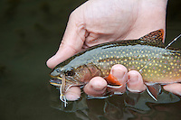A wild native brook trout caught while fly fishing Wisconsin's Driftless Area near Viroqua.