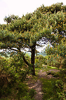 """A Lone Pine, possibly near the site of Christopher Robin's """"Heffalump Trap"""", Ashdown Forest, Sussex, UK, May 20, 2017. Picturesque Ashdown Forest stretches across the countries of Surrey, Sussex and Kent, and is the largest open access space in the South East of England. It is famous as the geographical inspiration for the Winnie the Pooh stories and is popular with fans of the characters."""