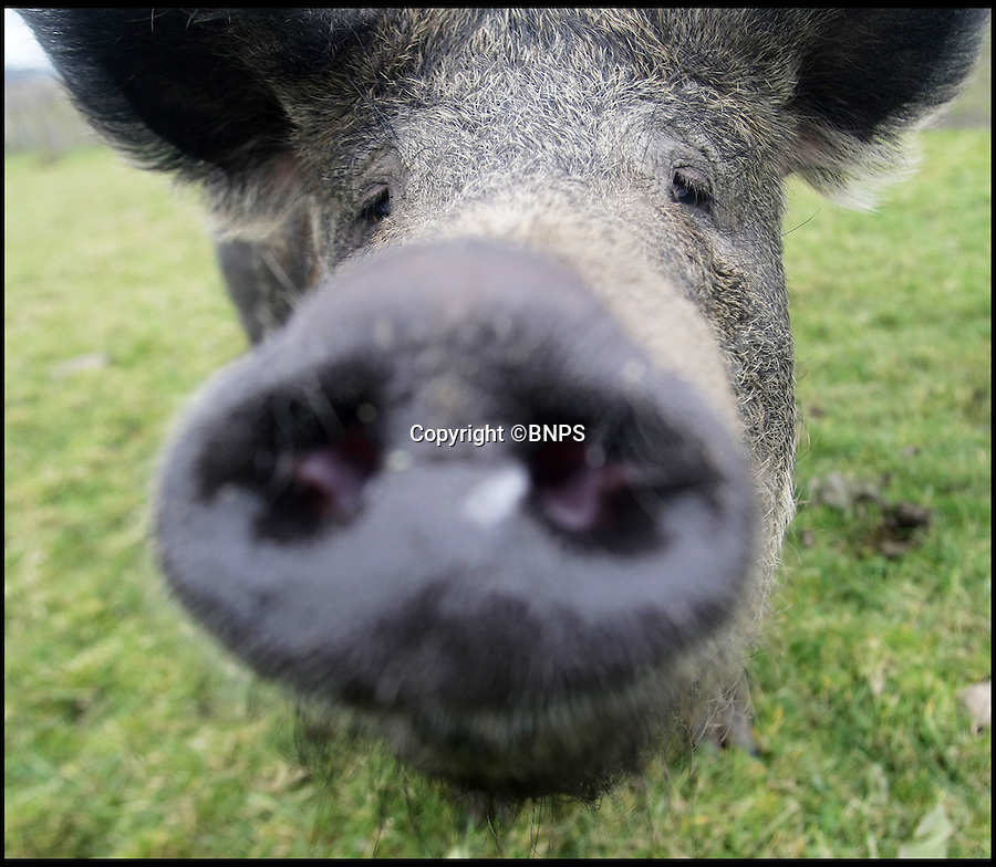 BNPS.co.uk (01202 558833)<br /> Pic: DavidFitzgerald/BNPS<br /> <br /> A close up of a pig from Mr Gracey's farm.<br /> <br /> Supplying farm animals to TV and film crews, including the huge hit series Game of Thrones, has saved Kenny Gracey's bacon.<br /> <br /> The 57-year-old farmer started supplying pigs, cows, donkeys, goats and even a trained deer to Hollywood seven years ago, when the recession was hitting his business hard.<br /> <br /> Mr Gracey said the film work his animals get has helped him pay the bills and keep his business going.<br /> <br /> Forthill Farm in Tandragee, Northern Ireland, specialises in traditional breeds like Longhorn cattle and Gloucestershire old spot pigs, ideal for shows and films set in medieval times.