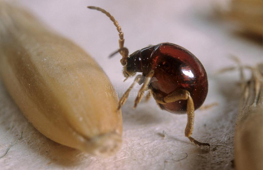 Ronde diefkever (Gibbium psylloides)