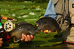 TWO HYBRID BLUEGILL PAN FISH