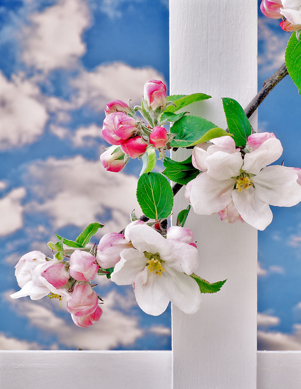 Gravenstein apple blossoms with white picket fence. Alpine, Oregon.