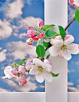 Gravenstein apple blossoms with white picket fence. Alpine, Oregon.