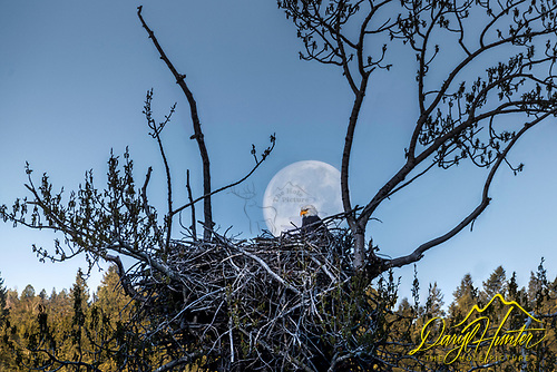 Eagles nest, Bald Eagle, Full Moon