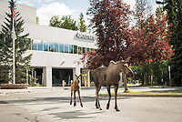 A mother moose and her calves wander the UAA campus in front of the Administration and Humanities Building.