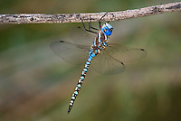 339360027 a wild male blue-eyed darner dragonlfy rhionaeschna multicolor perches on a small tree limb in the shade at five mile landing in topock marsh havasu national wildlife refuge arizona united states