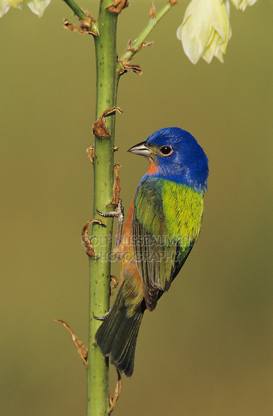 Painted Bunting, Passerina ciris,male on blooming Soaptree Yucca (Yucca elata) , Lake Corpus Christi, Texas, USA