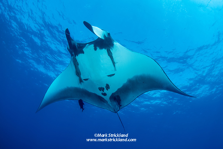 Giant Manta, Manta birostris, The Boiler, San Benedicto Island, Revillagigedo Archipelago, Mexico, Pacific Ocean