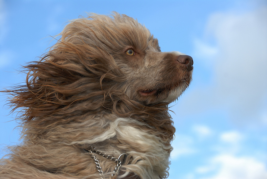 Portugise waterdog,PWD,Norway