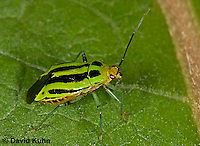 """0624-07zz  Four-lined Plant Bug """"Herb, Flower, and Crop Pest"""" - Poecilocapsus lineatus - © David Kuhn/Dwight Kuhn Photography"""