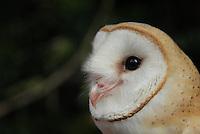 """Coruja-das-torres, coruja-da-igreja, rasga-mortalha (Maranhão, Pernambuco) ou suindara, é uma espécie de coruja muito comum no Brasil, bastante conhecida por nidificar em torre de igrejas e locais habitados (razão de um de seus nomes comuns).<br /> Está entre as aves mais """"úteis"""" do mundo, no que se refere à economia do homem, pois consomem muitos roedores, principalmente nas proximidades de habitações humanas.<br /> <br /> O nome suindara vem do tupi e significa """"o que não come"""".<br /> <br /> Seu nome significa:Tyto Furcata⇒ Coruja branca [com rabo de] pontiagudo**.<br /> <br />     Obs: Modificado recentemente (2014). Antiga Tyto alba ⇒ Coruja branca.<br /> <br /> Belém, Pará, Brasil<br /> Foto Paulo Santos<br /> 2008"""