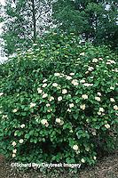 Arrowood Viburnum (Viburnum dentatum) blooming   IL