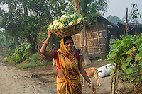 Vegetable farmer Geeta Devi (in orange), 45, a member of a Farmer's Producer Group, walks to the collection centre with her harvested cauliflower vegetables in Machahi village, Muzaffarpur, Bihar, India on October 27th, 2016. Non-profit organisation Technoserve works with women vegetable farmers in Muzaffarpur, providing technical support in forward linkage, streamlining their business models and linking them directly to an international market through Electronic Trading Platforms. Photograph by Suzanne Lee for Technoserve