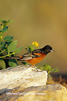 01618-00207 Orchard Oriole (Icterus spurius) male Starr Co. TX