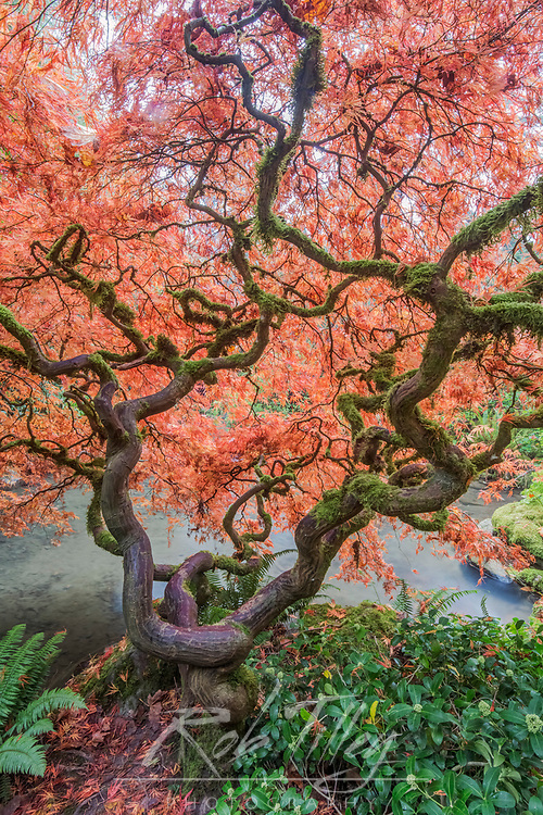 USA, WA, Seattle, Kubota Japanese Garden, Reaching for Heaven